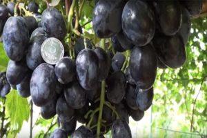 A Ruslan szőlő leírása és jellemzői, előnyei és hátrányai