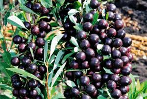 Descrierea soiului de cires cu nisip Bessey, reproducere, plantare și îngrijire