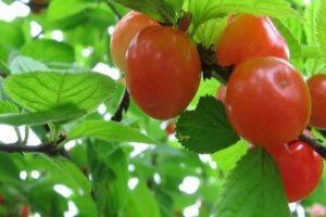 A dekoratív mirigyös cseresznye leírása, valamint az ültetés, gondozás, szaporítás szabályai