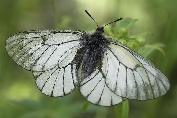 Galagonya pillangó