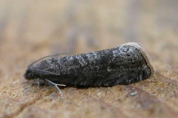 szilva moly