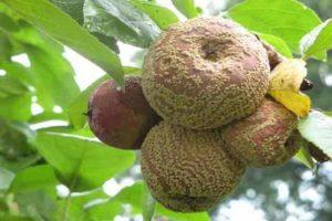 Miért forog az alma közvetlenül a fán, mit kell csinálni és hogyan kell harcolni?