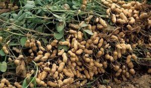 Plantar, cultivar y cuidar maní en el jardín y en maceta en casa