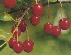 A Shakirovskaya cseresznyefajta leírása és jellemzői, termesztése és gondozása
