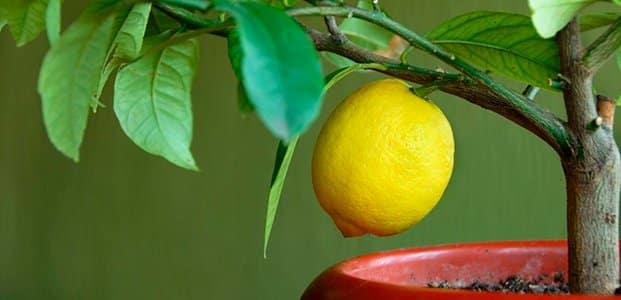 hojas de limoncillo