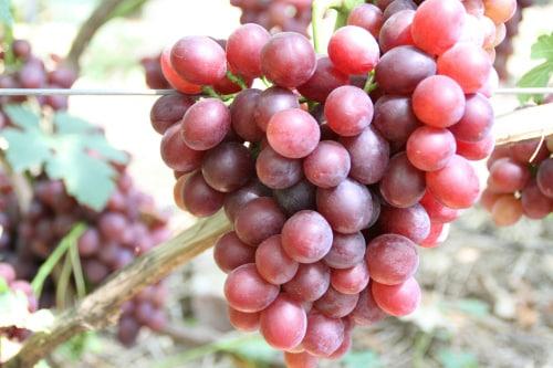 szőlő ajándékot Irina-nak