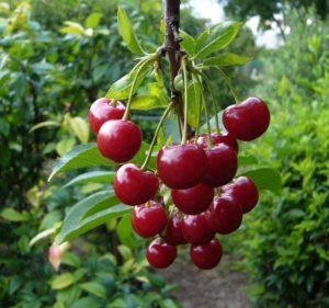 A Pamyat Vavilov fajta meggyének leírása, valamint a szelekció, ültetés és gondozás története