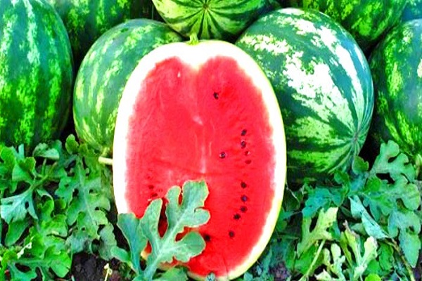 növekvő görögdinnye