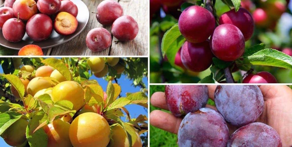 prune proaspete