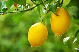 Comment conserver au mieux les citrons à la maison, règles et dates d'expiration pour différentes méthodes