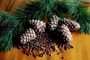 Plantar, cultivar y cuidar un cedro de nuez en casa.