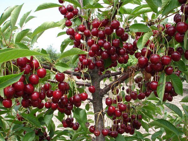 cseresznye gyümölcs
