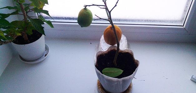 caída de la fruta