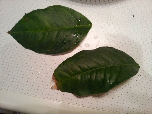 hojas de limon
