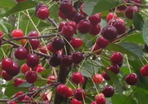 A Rovesnitsa cseresznye leírása és jellemzői, története és termesztési jellemzői