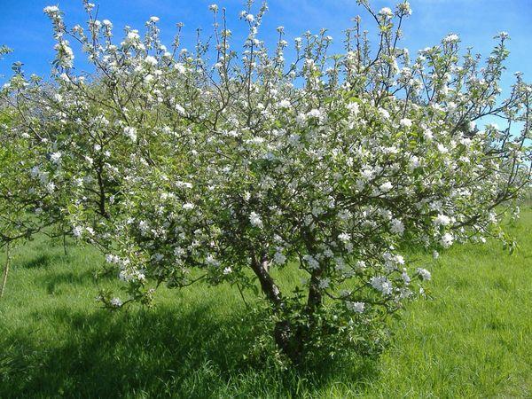 cseresznye tavasszal