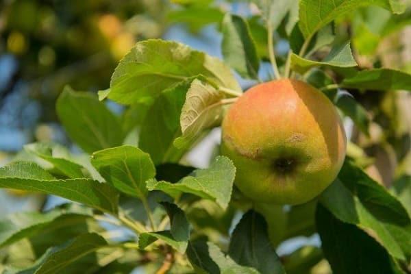 a gyümölcsök minősége