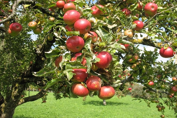 érett gyümölcs