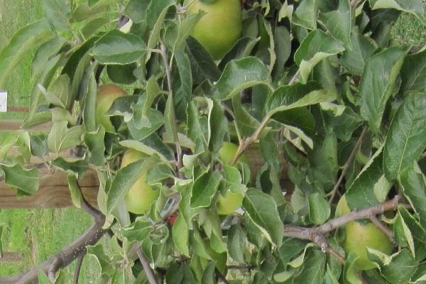 felnőtt növény