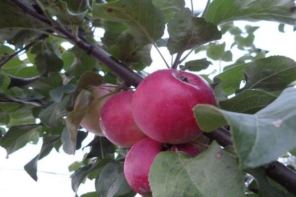crescând un măr