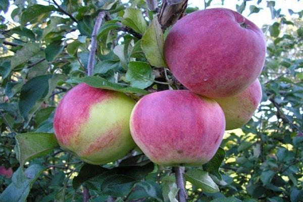 cules de fructe