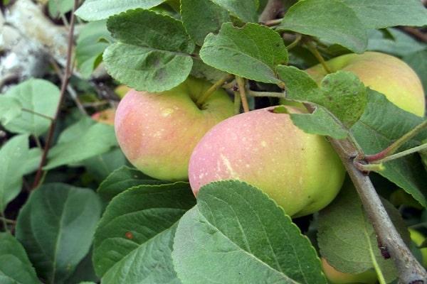 soi de mere
