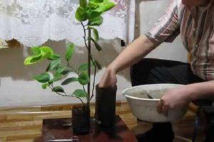 Cómo preparar tierra de limón en casa y calificación de los mejores productores de tierra.