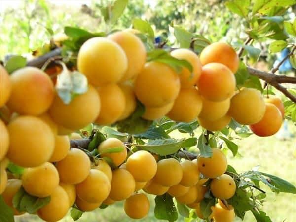 prune galbene