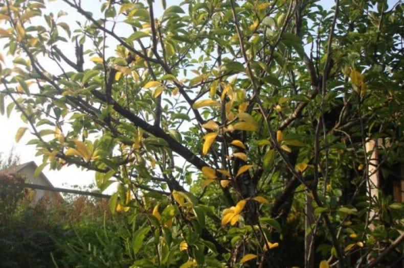 prunele cad