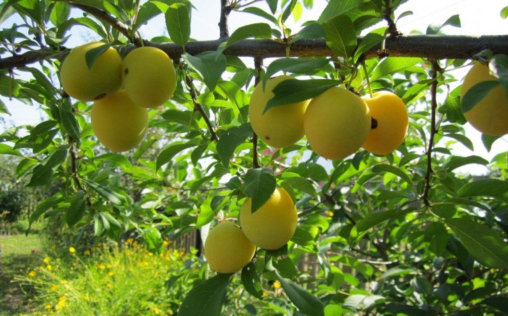 Călător de prune