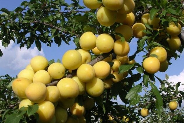 Muntele de prune galbene
