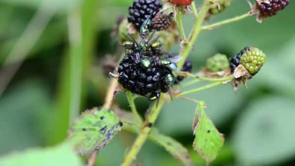 blackberry karaka negro