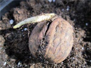 Cómo plantar y cultivar una nuez correctamente, reglas de cuidado y métodos de reproducción.