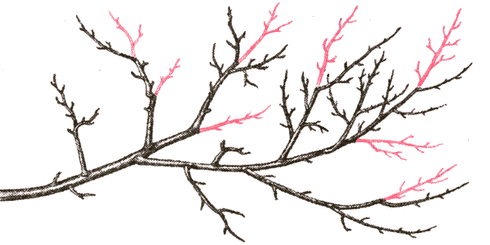prune de prun