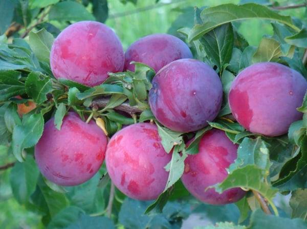 comandant de prune