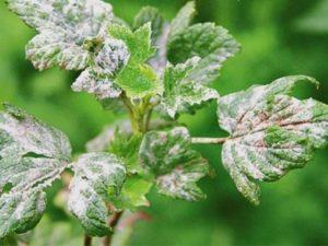 Medidas efectivas para combatir el mildiú polvoroso en las grosellas con medicamentos y remedios caseros.
