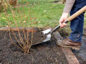 Când și cum să plantăm coacăzele corect pentru o recoltă bună