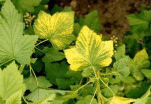 ¿Por qué las hojas de grosella negra y roja se vuelven amarillas y qué hacer al respecto?