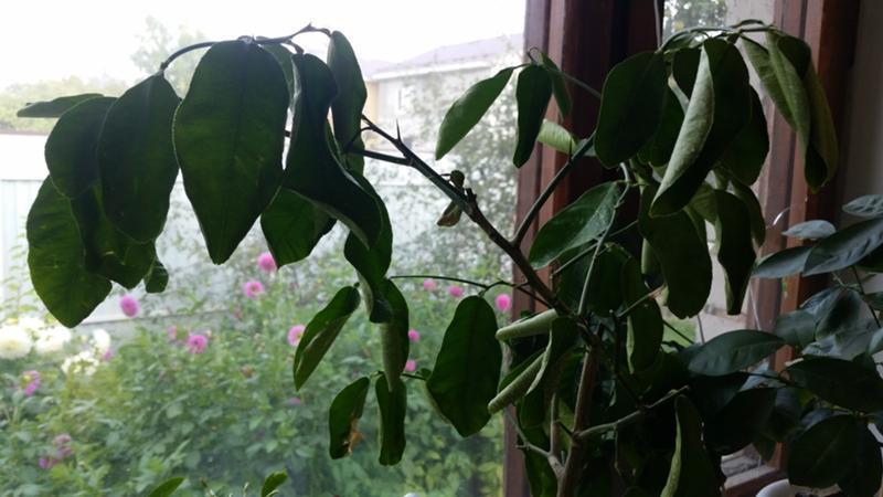 rizo de hojas de limón