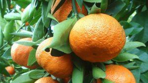 Descripción de las variedades de mandarina Unshiu y cultivo en casa.
