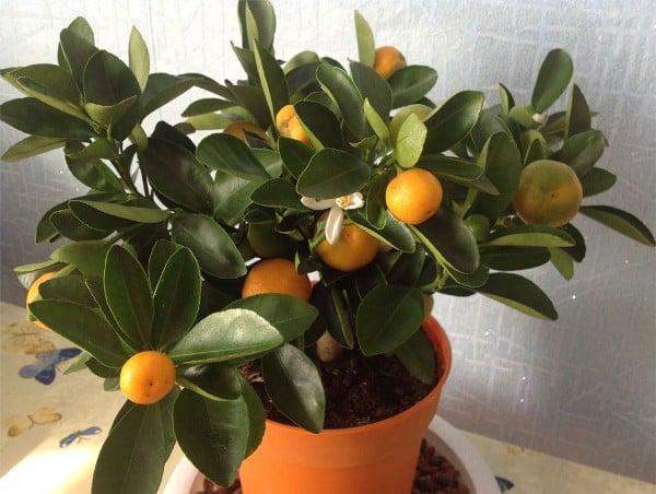 mandarina en casa