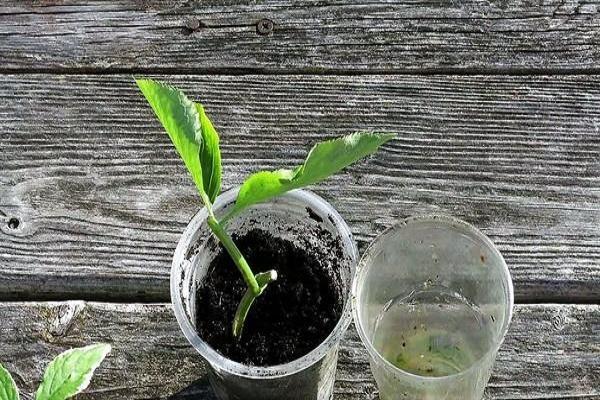 taza de la planta