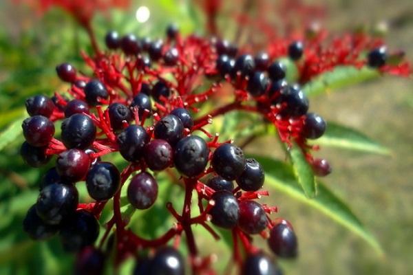 baya de la fruta
