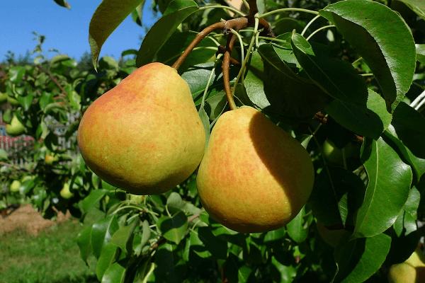 gyümölcs a fán