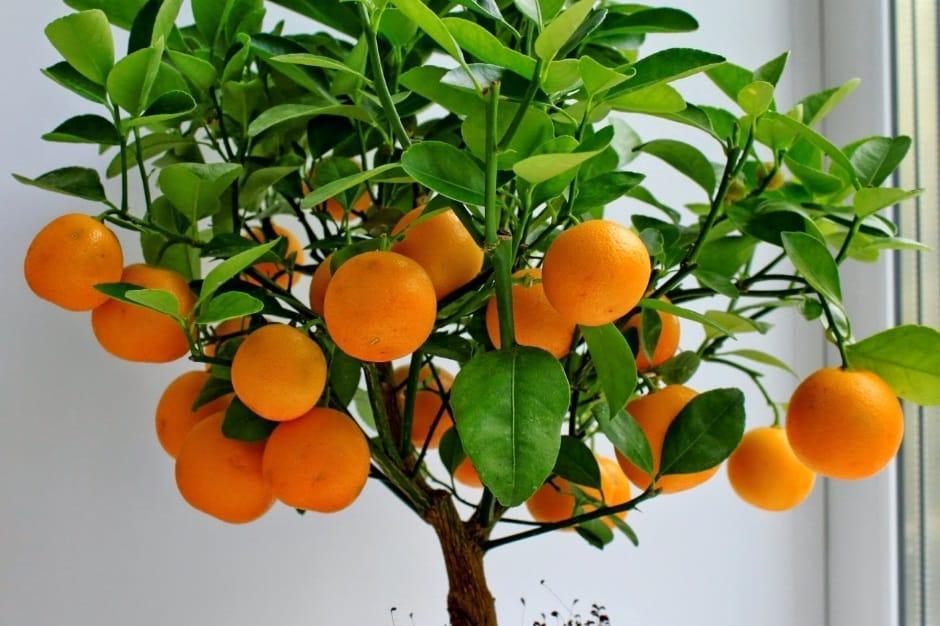 árbol de mandarina