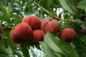 Descrierea soiurilor de piersici de smochine, proprietăți utile și cultivare