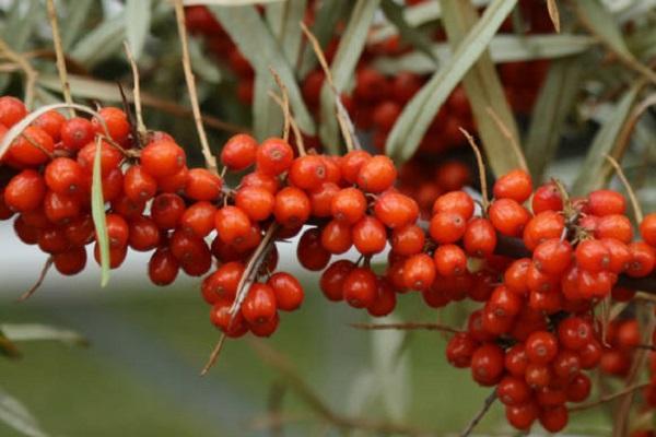 las frutas se pusieron rojas