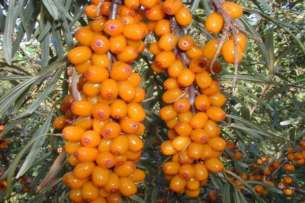 pimienta naranja