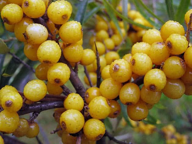 espino amarillo maduro