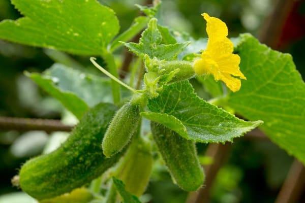 floare galbenă